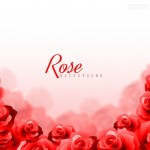 Vector hình nền hoa hồng thắm 1