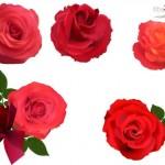 Vector bông hoa hồng đẹp #3